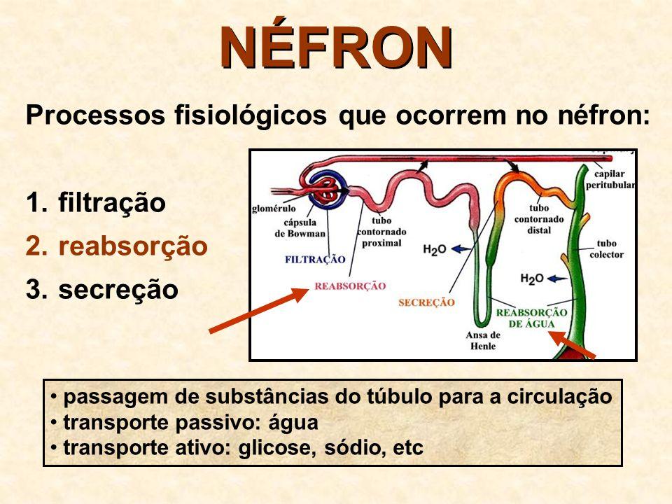 NÉFRON Processos fisiológicos que ocorrem no néfron: 1.
