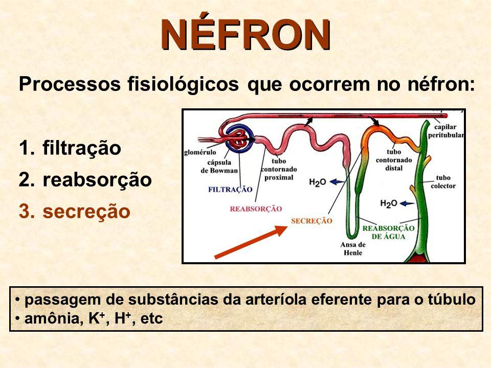 NÉFRON 1. GLOMÉRULO