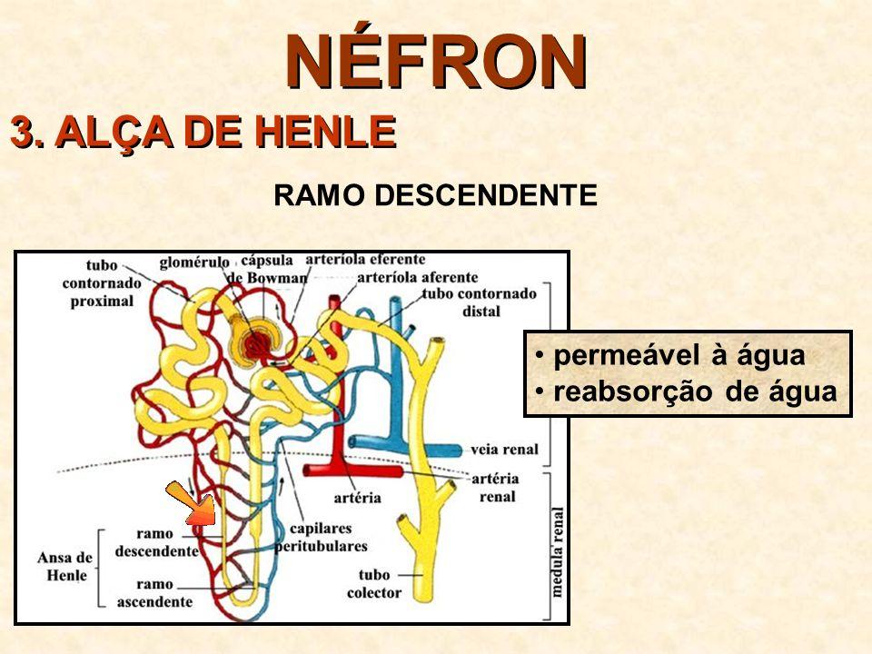NÉFRON 3.