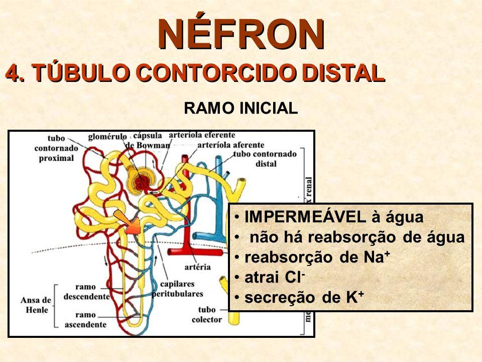 NÉFRON 4.