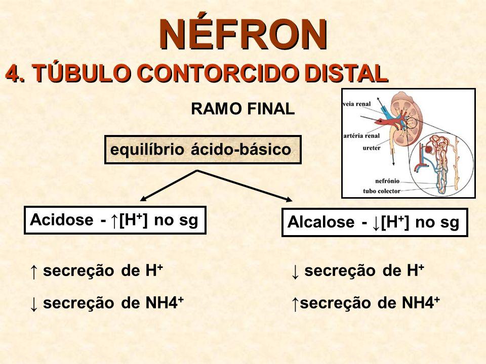 NÉFRON 5. DUCTO COLETOR PERMEÁVEL à água pouco permeável à uréia saída da urina