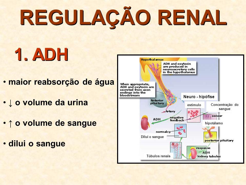 REGULAÇÃO RENAL O ADH é estimulado quando: a concentração do sangue (osmolaridade) a pressão arterial (por ex.