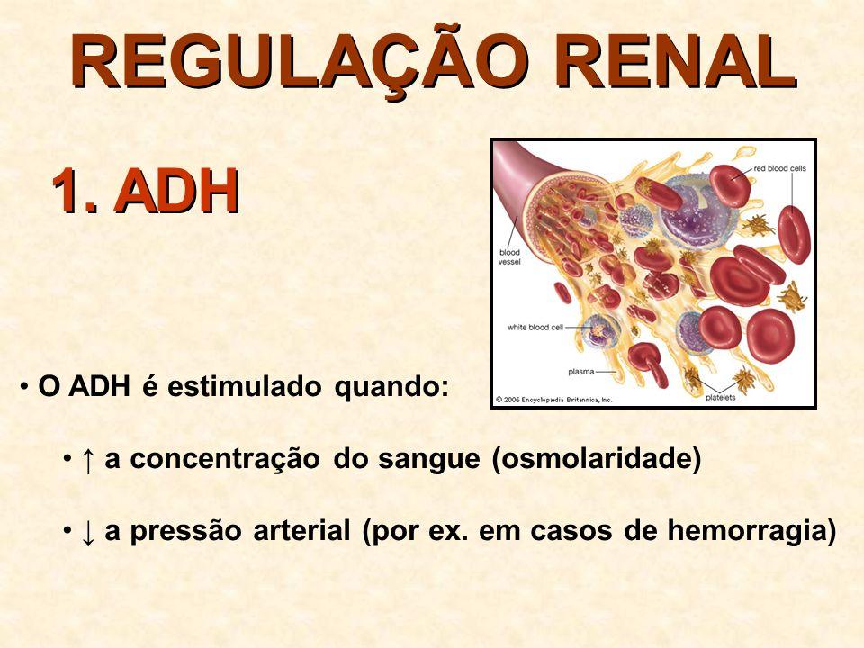 REGULAÇÃO RENAL inibe a liberação de ADH permeabilidade do TCD e DC reabsorção de água volume da urina dilui a urina 1.