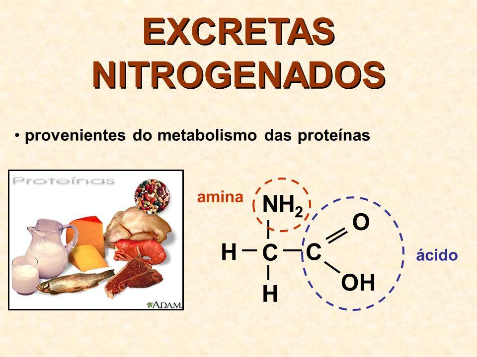 EXCRETAS NITROGENADOS H H C NH 2 C O OH Amônia Uréia Ácido úrico AmôniaUréia Ácido úrico