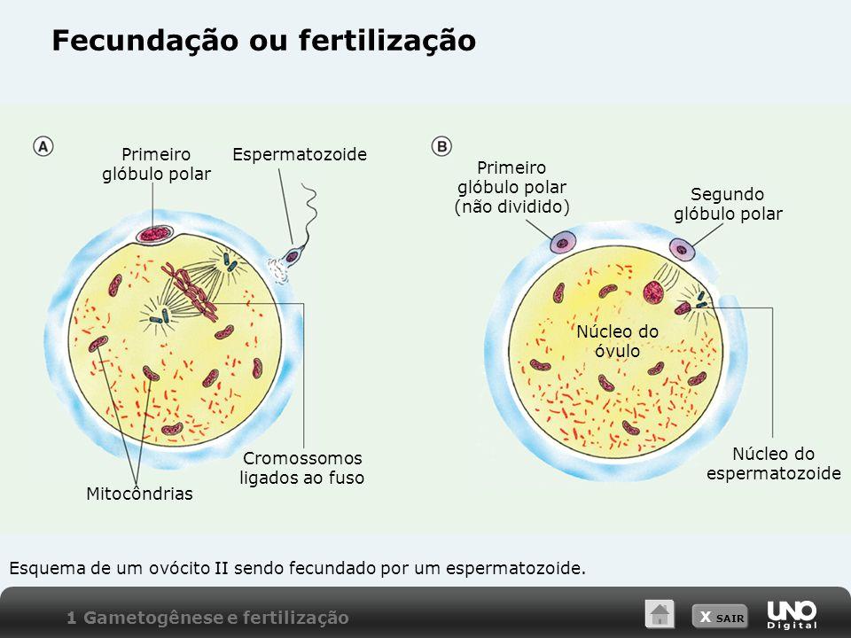 X SAIR Fecundação ou fertilização 1 Gametogênese e fertilização Esquema de um ovócito II sendo fecundado por um espermatozoide. Primeiro glóbulo polar