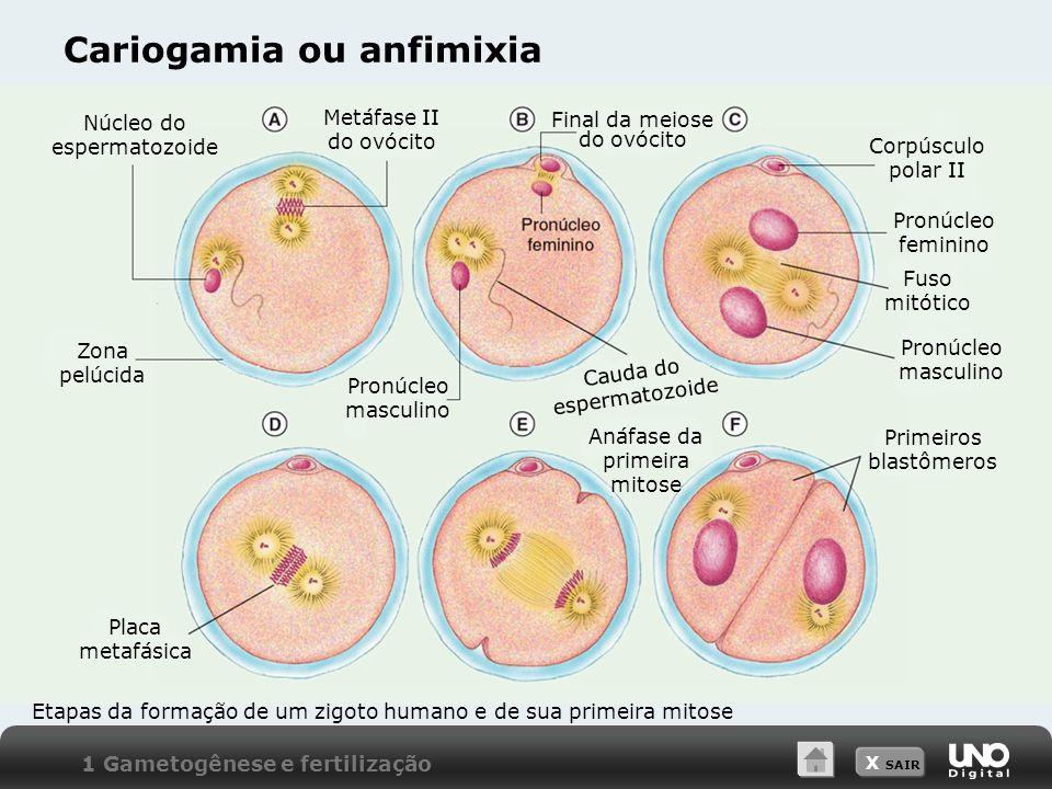 X SAIR Cariogamia ou anfimixia 1 Gametogênese e fertilização Etapas da formação de um zigoto humano e de sua primeira mitose Núcleo do espermatozoide