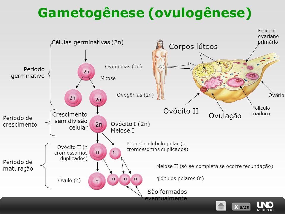 X SAIR Gametogênese (ovulogênese) Células germinativas (2n) Meiose II (só se completa se ocorre fecundação) São formados eventualmente Período germina