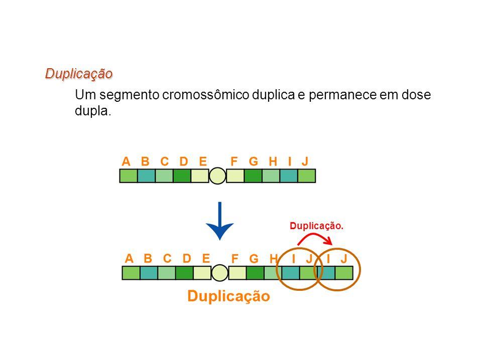 Duplicação Um segmento cromossômico duplica e permanece em dose dupla. Duplicação.