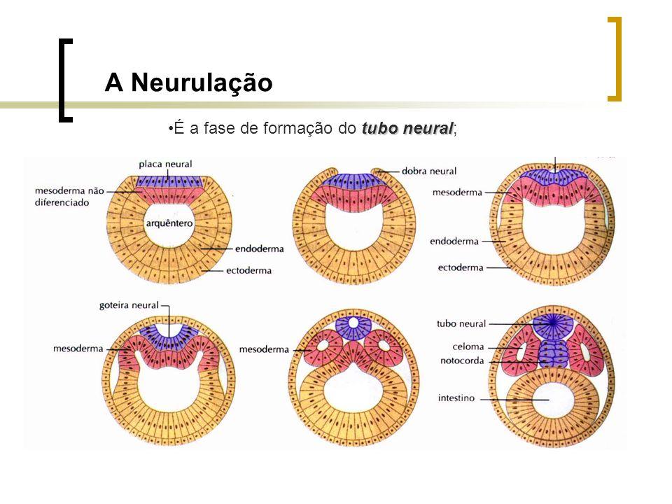 A Neurulação tuboneuralÉ a fase de formação do tubo neural;