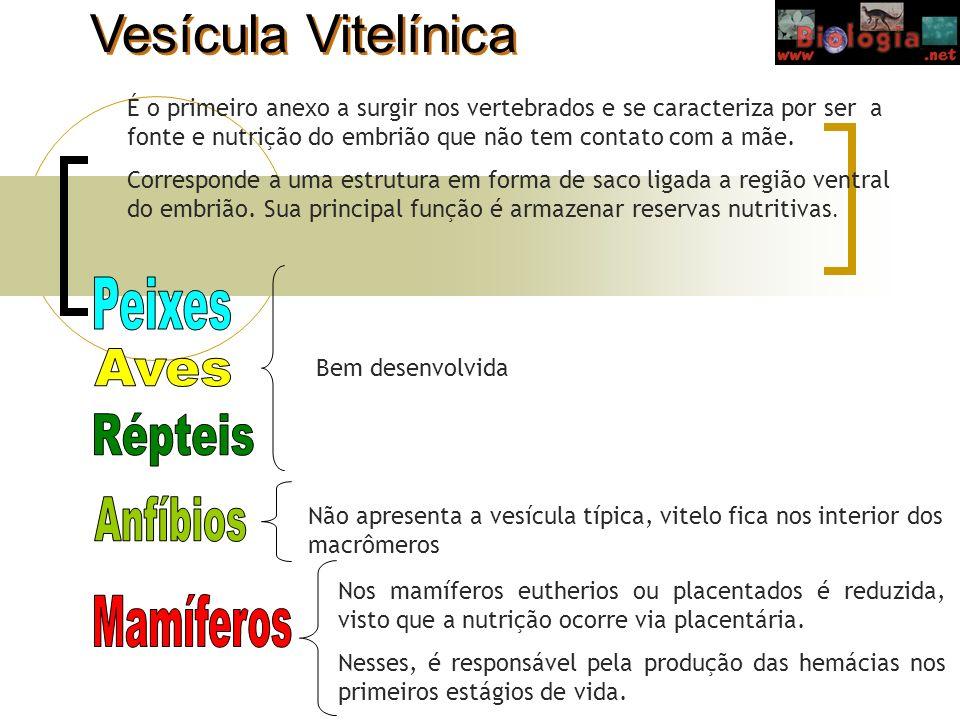 Vesícula Vitelínica É o primeiro anexo a surgir nos vertebrados e se caracteriza por ser a fonte e nutrição do embrião que não tem contato com a mãe.