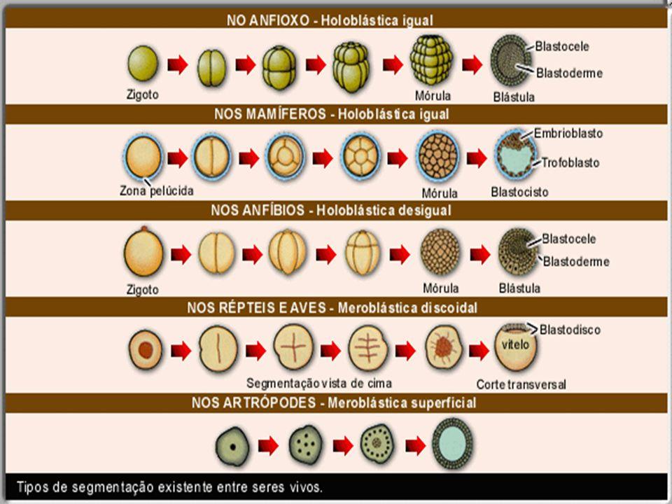 A Gastrulação Gástrula;É o processo de divisão e migração celular que termina na formação da Gástrula; folhestosgerminativosEstrutura que apresenta os folhestos germinativos