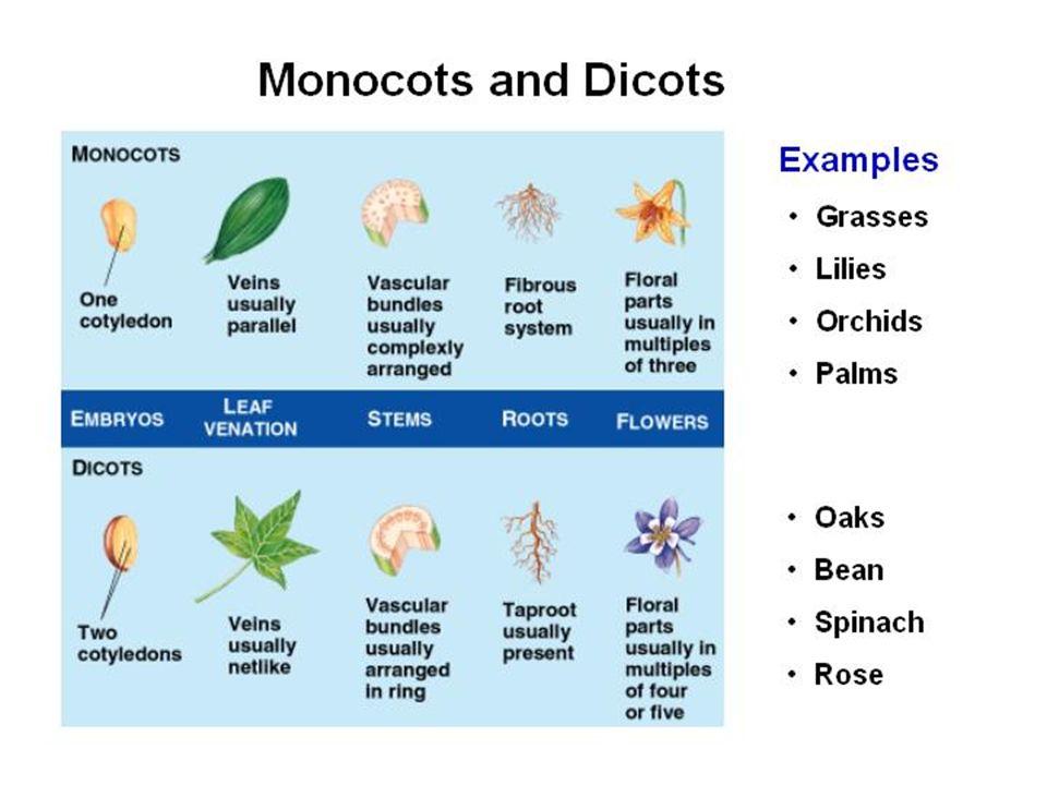 Raiz fasciculada (cabeleira) Axial ou pivotante (principal) Caule em geral, sem crescimento em espessura (colmo, rizoma, bulbo) em geral, com crescime