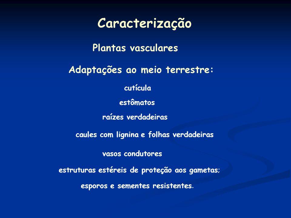 Divisão Tracheophyta São dominantes, existindo atualmente 250000 espécies.