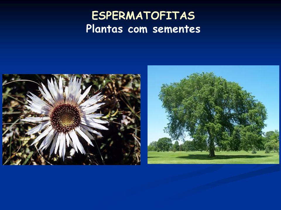 Caracterização Plantas vasculares Adaptações ao meio terrestre: cutícula estômatos raízes verdadeiras caules com lignina e folhas verdadeiras vasos co