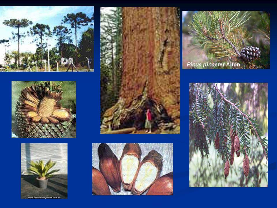 Classe Gimnospermae ( Gimnospermae = semente nua) refere precisamente o fato de as sementes e óvulos destas plantas se encontrarem expostos sobre a su