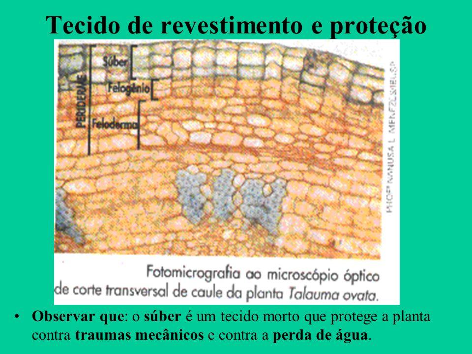 Tecido de revestimento e proteção Observar que: o súber é um tecido morto que protege a planta contra traumas mecânicos e contra a perda de água.