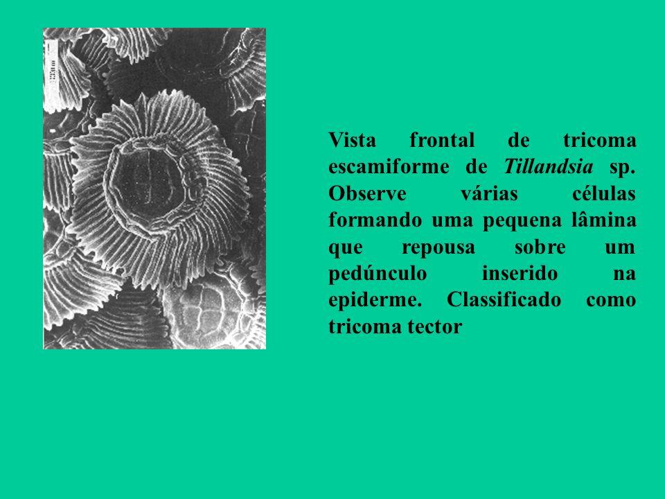 Vista frontal de tricoma escamiforme de Tillandsia sp. Observe várias células formando uma pequena lâmina que repousa sobre um pedúnculo inserido na e