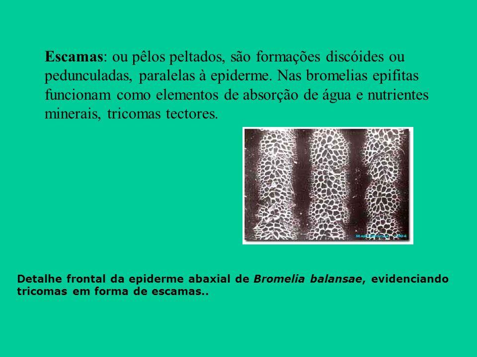 Escamas: ou pêlos peltados, são formações discóides ou pedunculadas, paralelas à epiderme. Nas bromelias epifitas funcionam como elementos de absorção