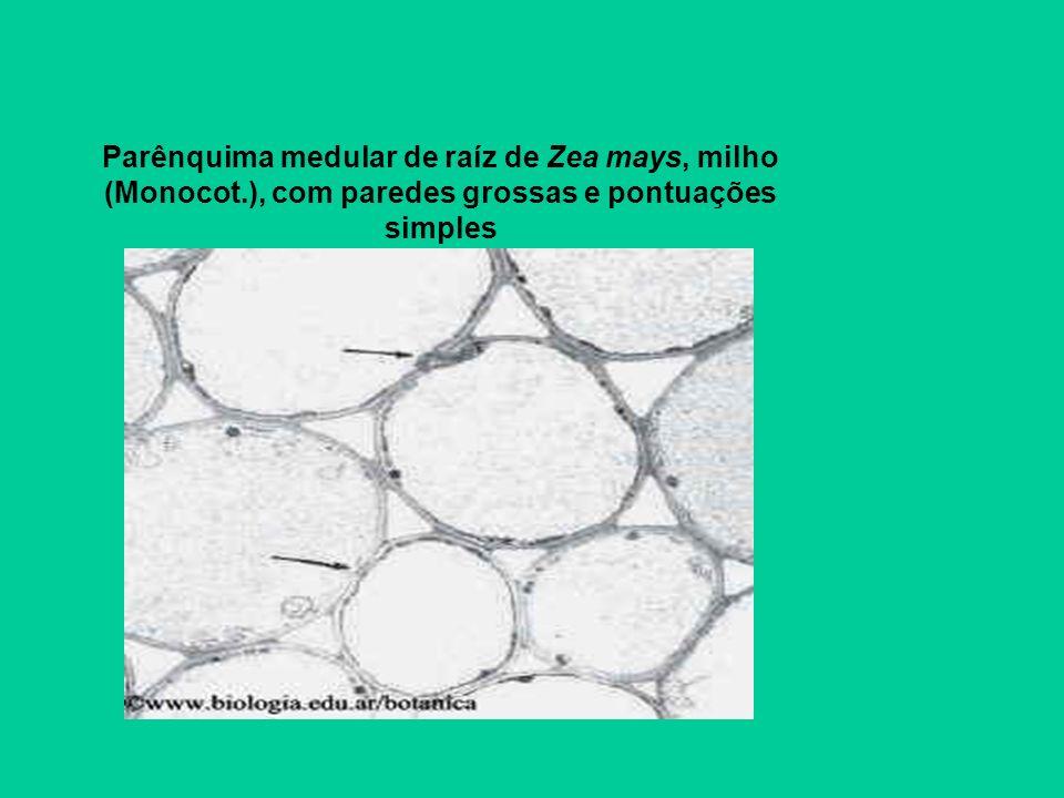 Parênquima medular de raíz de Zea mays, milho (Monocot.), com paredes grossas e pontuações simples