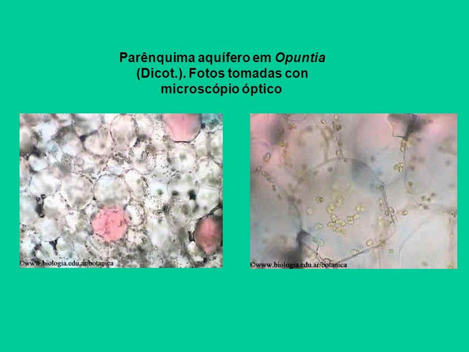 Parénquima acuífero en Opuntia (Dicot.). Fotos tomadas con microscopio óptico. Parénquima acuífero en Opuntia (Dicot.). Fotos tomadas con microscopio