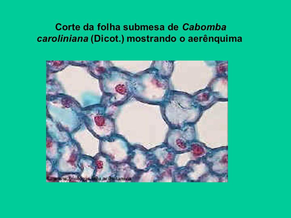 Corte da folha submesa de Cabomba caroliniana (Dicot.) mostrando o aerênquima
