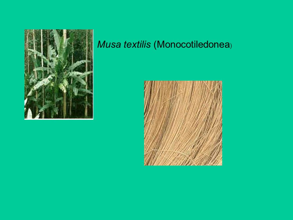 Musa textilis (Monocotiledonea )
