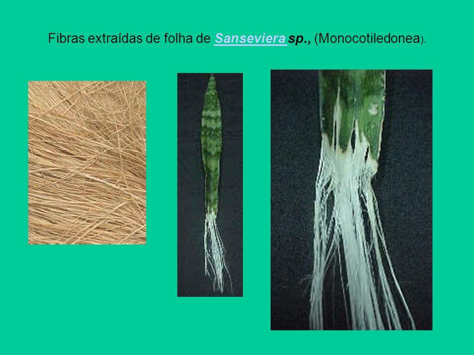 Fibras extraídas de folha de Sanseviera sp., (Monocotiledonea ).Sanseviera