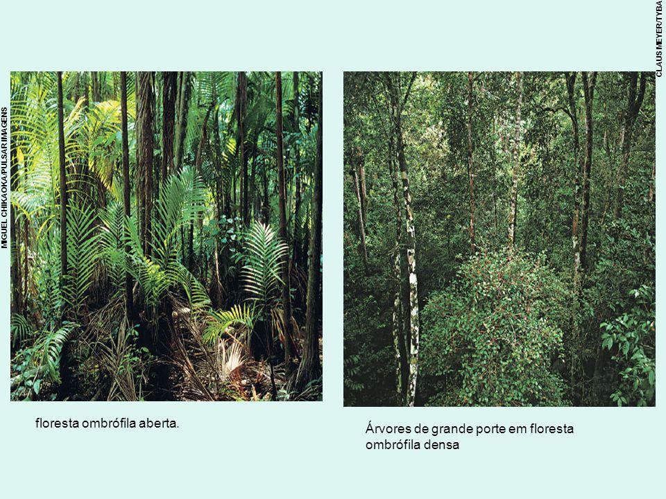 Árvores de grande porte em floresta ombrófila densa floresta ombrófila aberta. CLAUS MEYER/TYBA MIGUEL CHIKAOKA/PULSAR IMAGENS