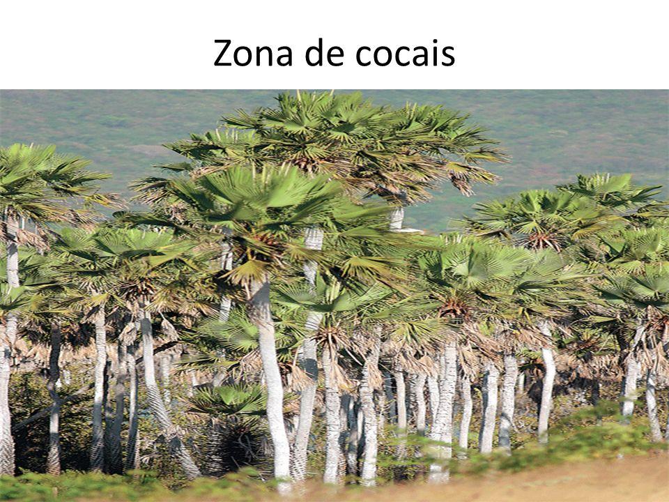 Zona de cocais FABIO COLOMBINI