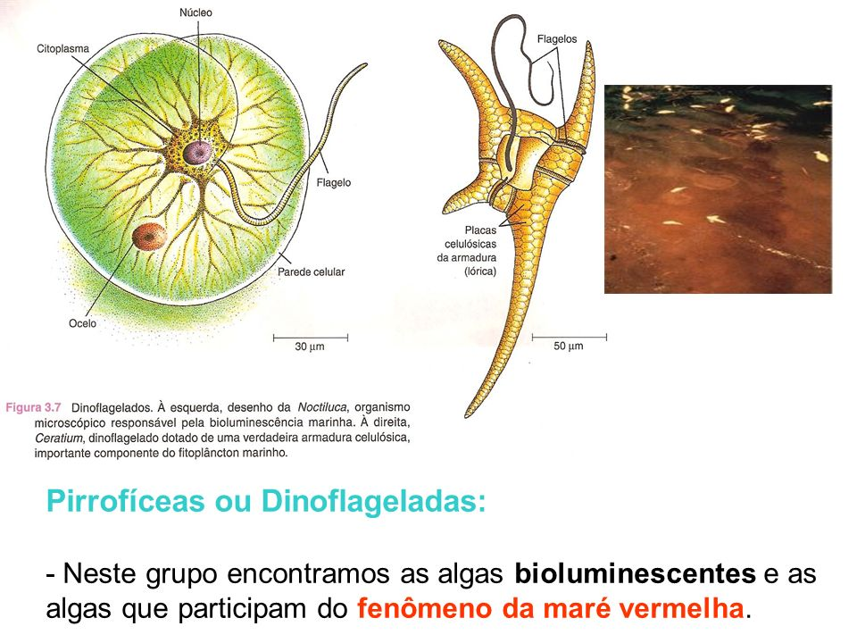 Algas do reino Protista Crisofíceas ou algas douradas: - principais integrantes do fitoplâncton marinho; - As mais conhecidas são as diatomáceas, - Ap