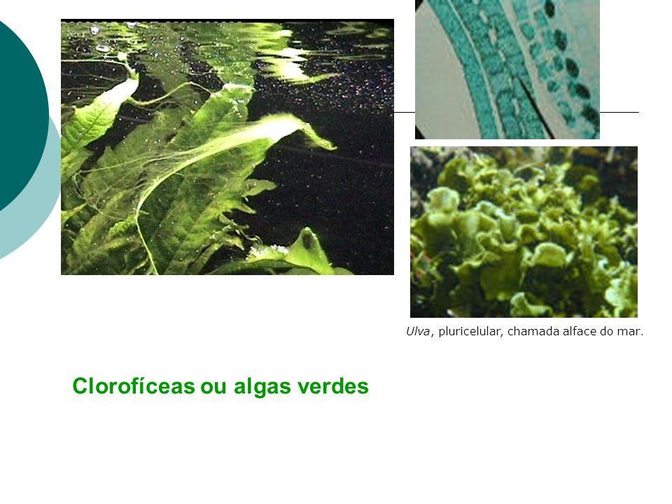 Pirrofíceas ou Dinoflageladas: - Neste grupo encontramos as algas bioluminescentes e as algas que participam do fenômeno da maré vermelha.
