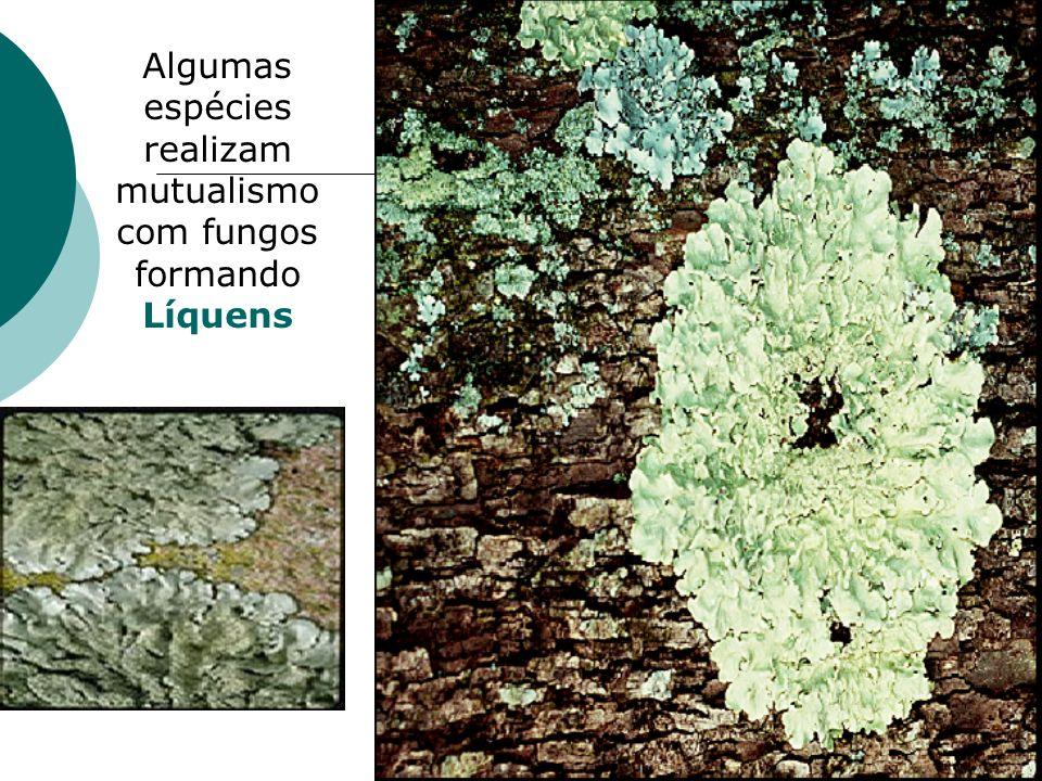 Clorofíceas ou algas verdes Ulva, pluricelular, chamada alface do mar.
