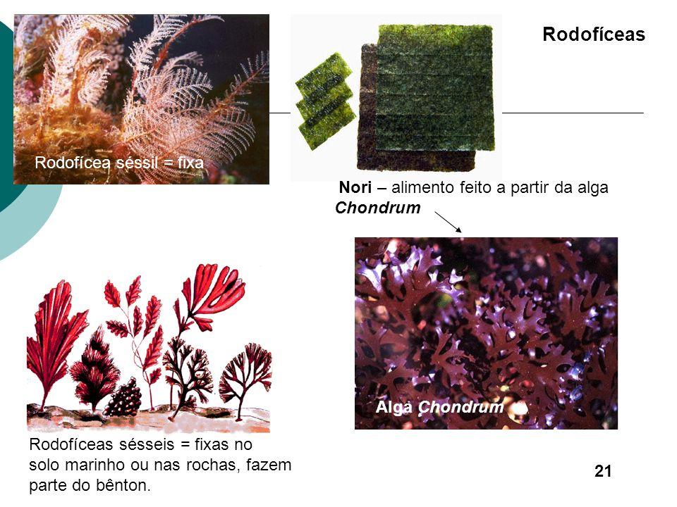 Rodofíceas ou algas vermelhas - Possuem na parede celular além da celulose, outros polissacarídeos como o ágar e o carragin. - Medicamentos - Pigmento