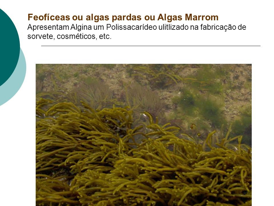 Rodofíceas Nori – alimento feito a partir da alga Chondrum Rodofícea séssil = fixa Rodofíceas sésseis = fixas no solo marinho ou nas rochas, fazem par