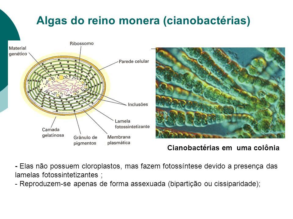 Algas do reino monera (cianobactérias) Cianobactérias em uma colônia - Elas não possuem cloroplastos, mas fazem fotossíntese devido a presença das lamelas fotossintetizantes ; - Reproduzem-se apenas de forma assexuada (bipartição ou cissiparidade);