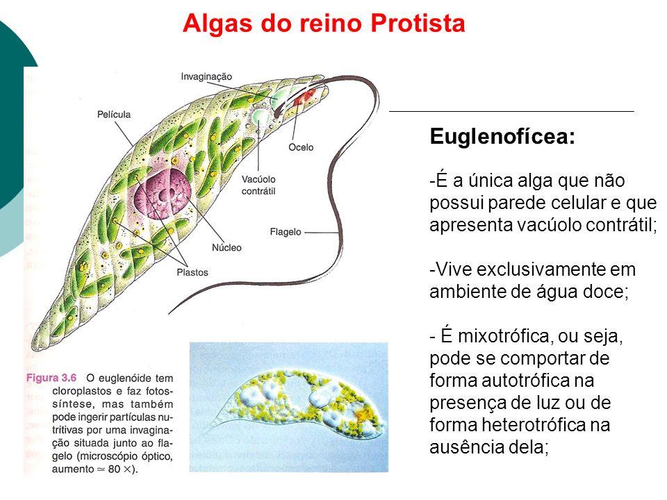 Algas do reino Protista Euglenofícea: -É a única alga que não possui parede celular e que apresenta vacúolo contrátil; -Vive exclusivamente em ambiente de água doce; - É mixotrófica, ou seja, pode se comportar de forma autotrófica na presença de luz ou de forma heterotrófica na ausência dela;