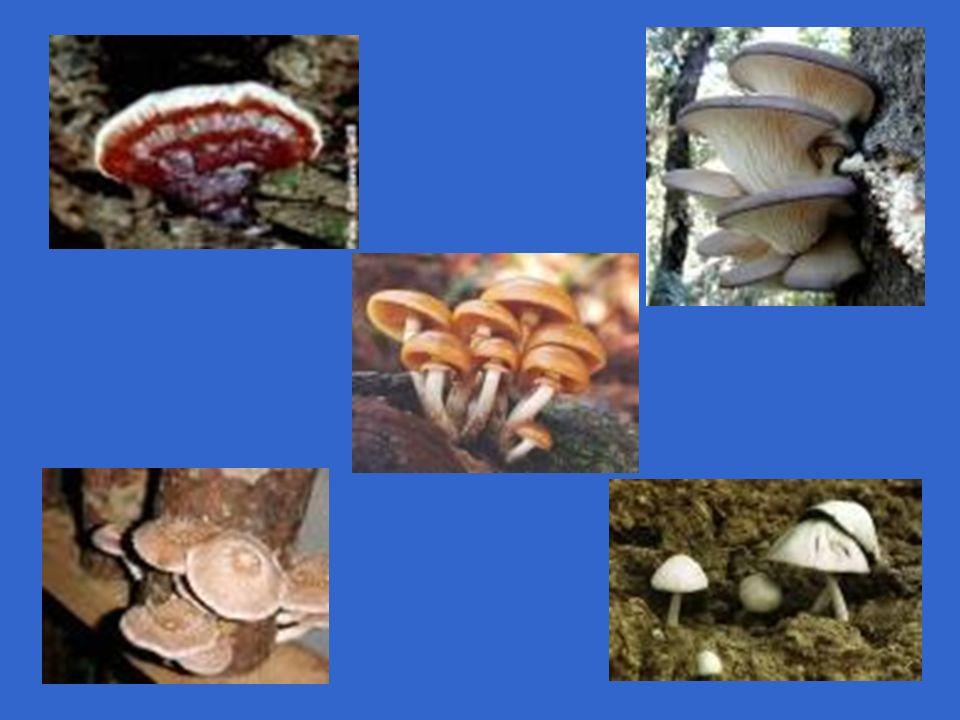 Esporângio Hifas (+)Hifas (-) Meiose Reprodução assexuada Reprodução sexuada por fusão de gametângios (+) e (-) Germinação Esporos (n) Aplanósporos (n) Aplanósporos (n) Gametângios (+) e (-) Zigósporo (2n) Pão Hifas especiais com função de absorção de alimento CICLO DE VIDA - ZIGOMICETO