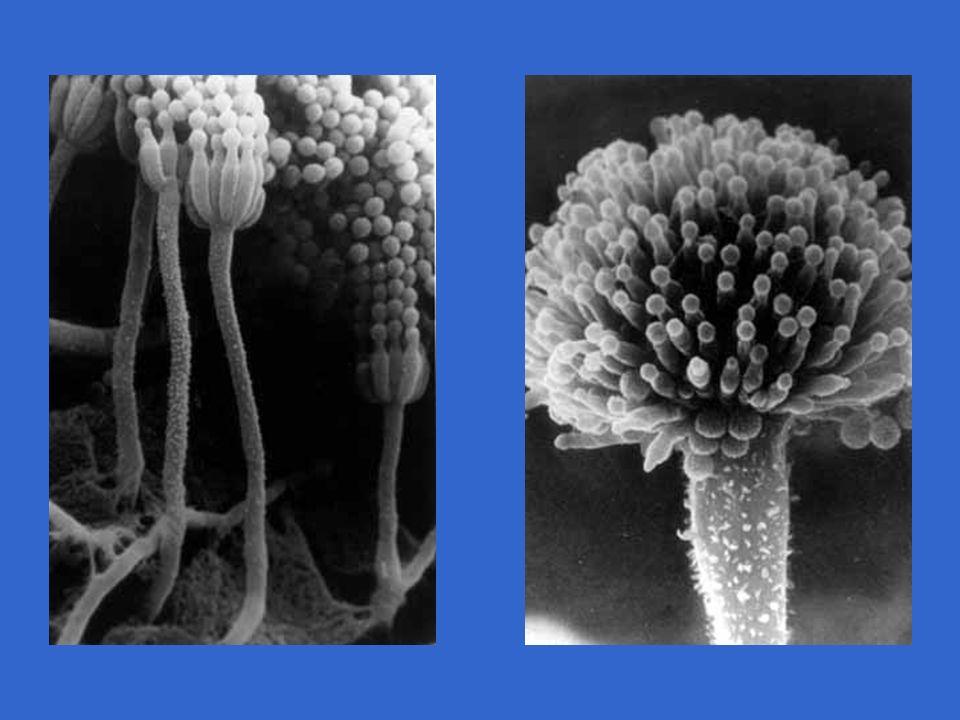 CICLO DE VIDA - ASCOMICETO Hifa + e Hifa - Ascósporos (n) Mitose Meiose Cariogamia Germinação AscocarpoAsco com ascósporos Hifas reprodutoras dicarióticas (n + n) Hifas estéreis (n), mononucleadas Esporo (+) germinando Esporo (-) germinando Asco dicariótico Hifa dicariótica Núcleo 2n (zigoto) 4 núcleos haplóides 8 ascósporos (n)