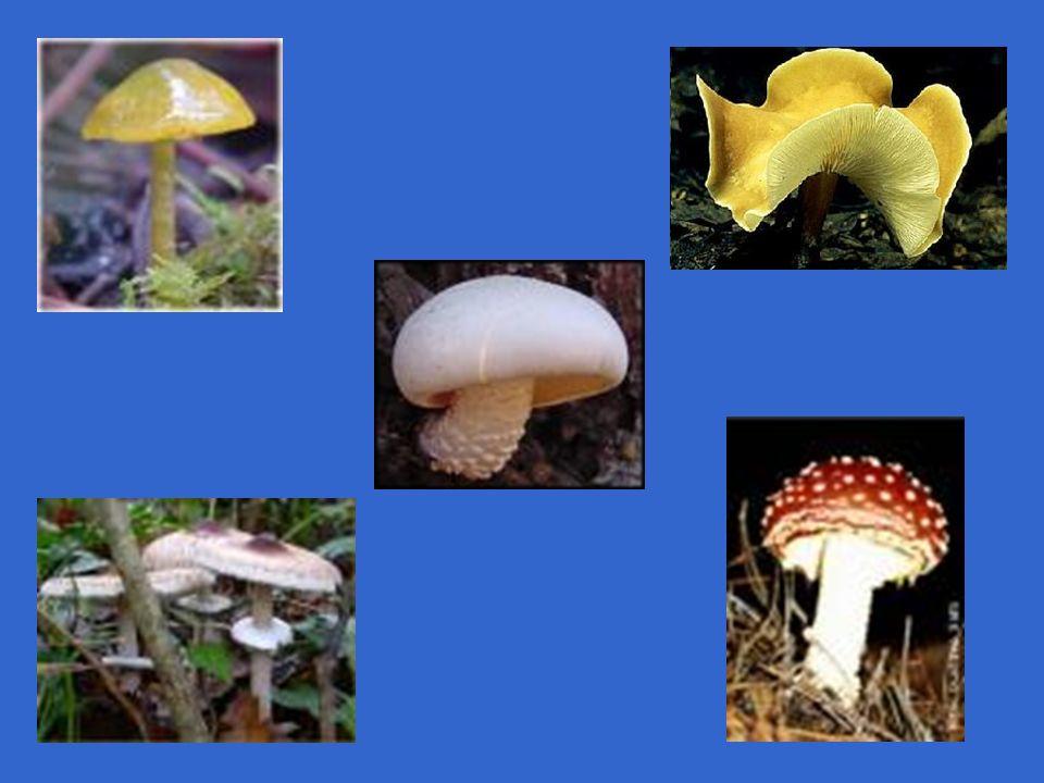 CHYTRIDIOMYCOTA (QUITRIDIOMICETOS OU MASTIGOMICETOS) MAIORIA AQUÁTICOS COM FLAGELOS EM ALGUM ESTÁGIO DA VIDA UNI OU PLURICELULARES (MAIORIA) COM HIFAS CENOCÍTICAS DECOMPOSITORES OU PARASITAS MULTICELULARES Phytophthora infestans