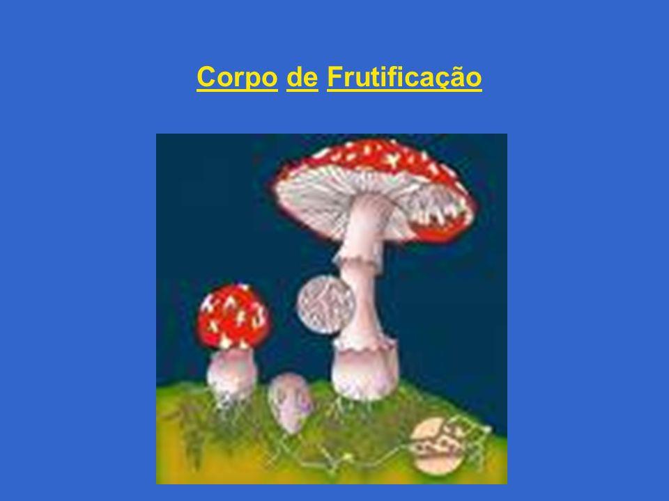 ASCOMYCOTA (ASCOMICETOS) APRESENTAM ASCOS (BOLSAS DE ESPOROS) ALGUNS APRESENTAM CORPO DE FRUTIFICAÇÃO (ASCOCARPO) COM ESPOROS (ASCÓPOROS) COM HIFAS SEPTADAS VIDA LIVRE OU SMBIONTES Saccharomyces cerevisiae Morchella esculenta Penicillium sp Candida albicans