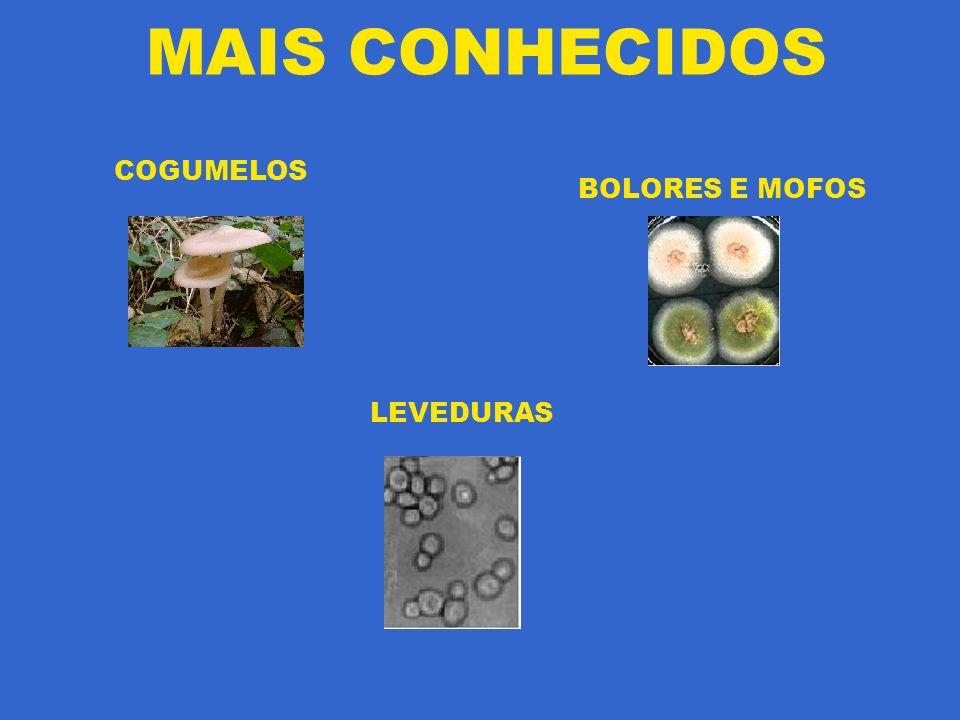 BASIDIOMYCOTA (BASIDIOMICETOS) FORMAM BASÍDIOS (ORIGEM DOS ESPOROS) COM ESPOROS (BASIDIÓSPOROS) COM HIFAS SEPTADAS COM CORPO DE FRUTIFICAÇÃO ELABORADO (BASIDIOCARPO) COGUMELOS