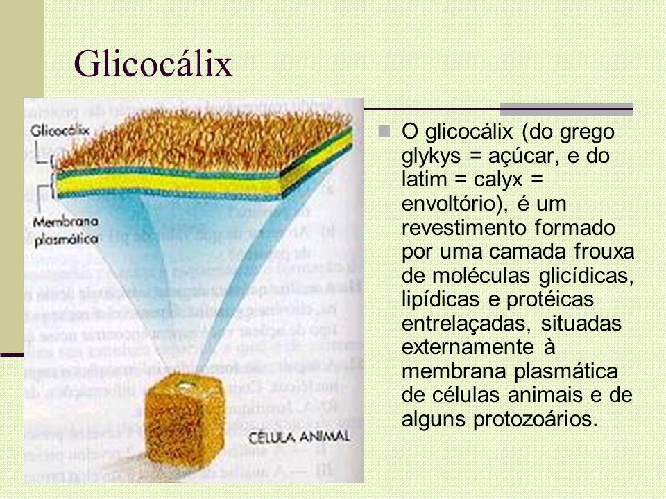 Glicocálix O glicocálix (do grego glykys = açúcar, e do latim = calyx = envoltório), é um revestimento formado por uma camada frouxa de moléculas glic