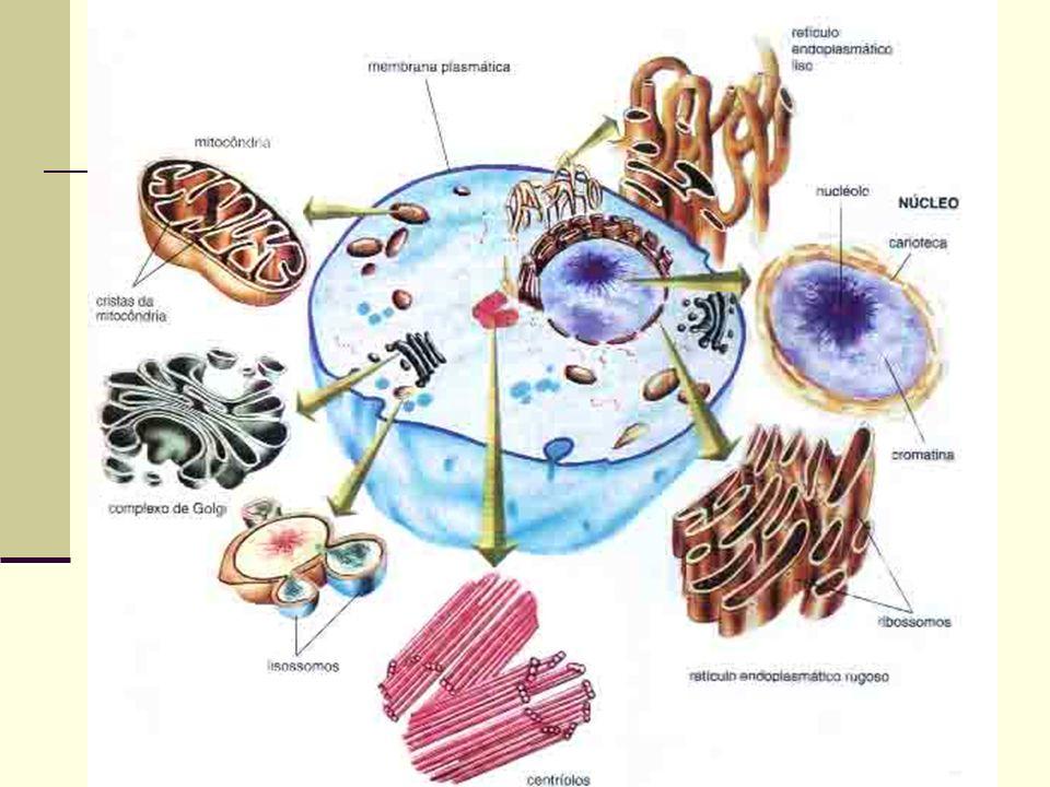 Ribossomos Função síntese de proteínas Existem em todas as células Podem ser encontrados livres no citoplasma (procariotos) ou presos a carioteca ou retículo endoplasmático rugoso (eucariotos)