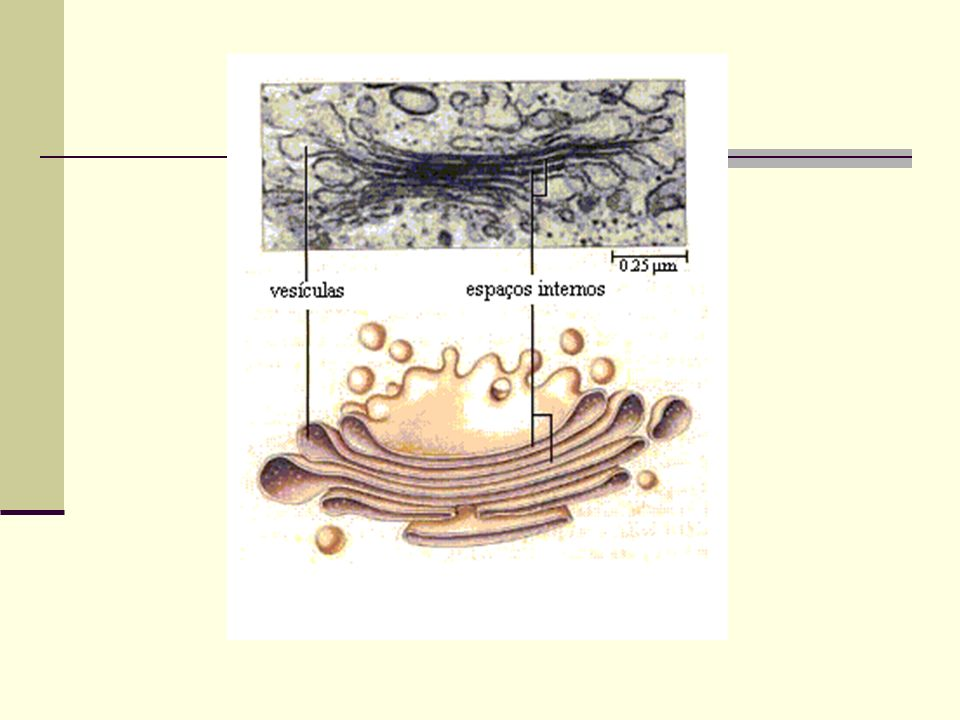 Funções Armazenamento (proteínas, lipídios, e polissacarídeos) Fabricam mucopolissacarídeos Originam os lisossomos e o acrossomo (espermatozóide) Secreção de enzimas digestivas (pâncreas) Secreção de mucina