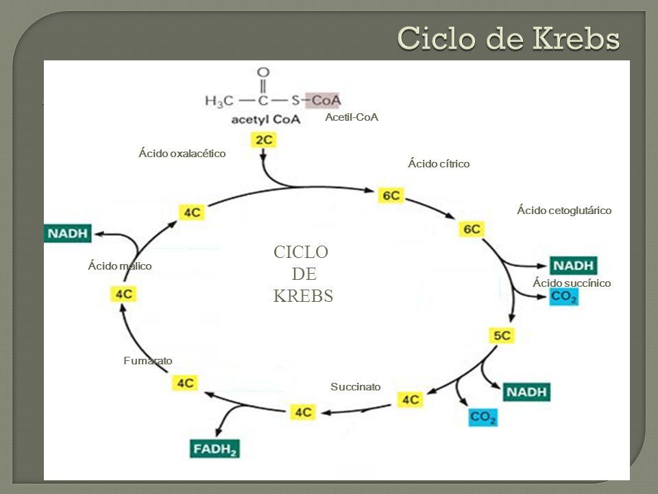 Ácido cítrico Ácido oxalacético Ácido cetoglutárico Ácido succínico Succinato Ácido málico CICLO DE KREBS Fumarato Acetil-CoA
