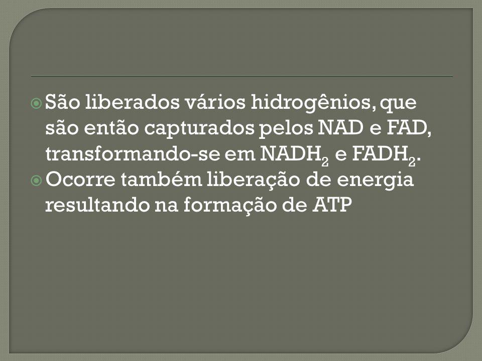 São liberados vários hidrogênios, que são então capturados pelos NAD e FAD, transformando-se em NADH 2 e FADH 2. Ocorre também liberação de energia re