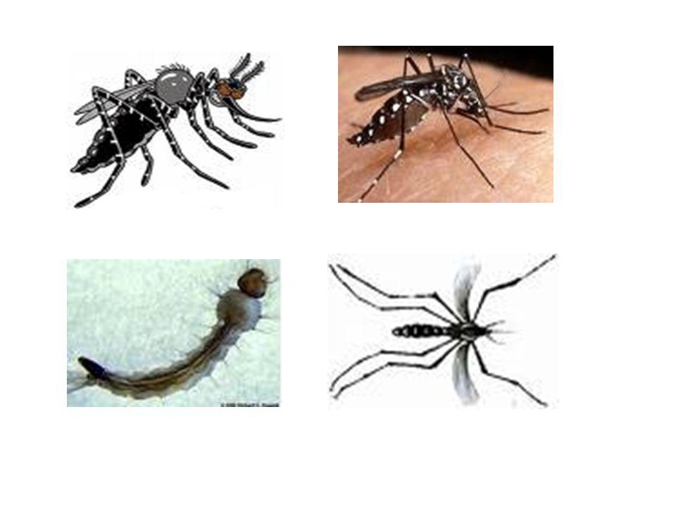 DENGUE TRANSMISSÃO Fêmea do mosquito Aedes aegypti SINTOMAS Dengue clássico – febre, dor de cabeça dores nas juntas, fraqueza, falta de apetite, manch