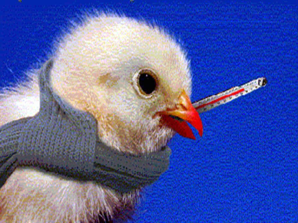 INFLUENZA AVIÁRIA TRANSMISSÃO Fezes de aves contaminadas Pessoas doentes SINTOMAS Tosse, Febre, dores musculares e fraqueza. PROFILAXIA Evitar contato