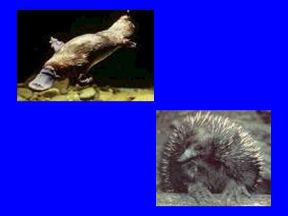 MONOTREMADOS (PROTOTHERIOS) ENCONTRADOS NA AUSTRÁLIA E NOVA GUINÉ APRESENTAM OVOS TELOLÉCITOS COMO AS AVES E OS RÉPTEIS SÃO OVÍPAROS SÃO CHOCADOS E AP