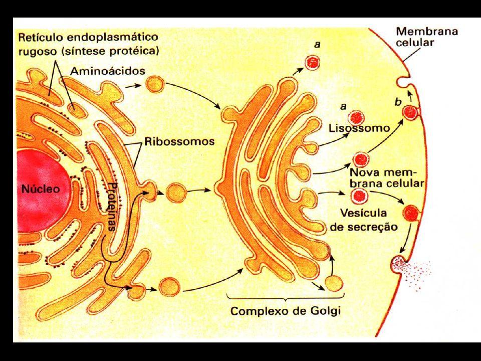 Retículo Endoplasmático: Liso: O retículo endoplasmático liso ou agranular dá continuidade ao rugoso e sua função é o transporte de produtos pelas sua